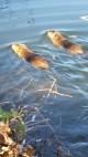 Двойка бобри се засели в езерото на Старозагорските бани